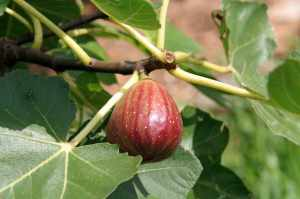 A fig on our tree